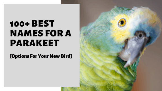 100+ Best Names For A Parakeet [Options For Your New Bird]