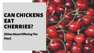 Can Chickens Eat Cherries? [What About Offering The Pits?]