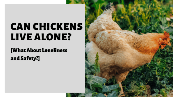 Can Chickens Live Alone_ [What About Loneliness and Safety_]