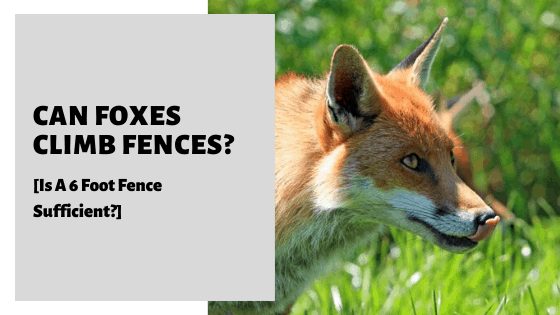 Can Foxes Climb Fences? [Is A 6 Foot Fence Sufficient?]