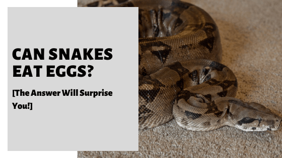 Can Snakes Eat Eggs? [The Answer Will Surprise You!]
