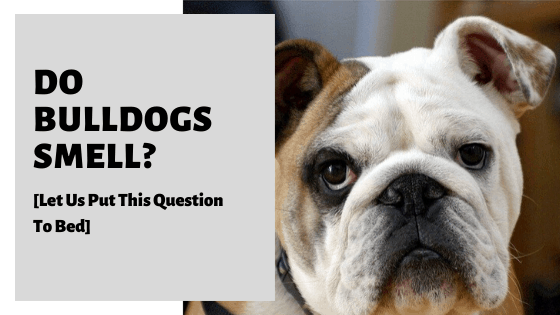 Do Bulldogs Smell? [Causes & How To Keep Them Smelling Fresh]
