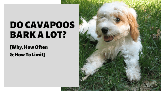 Do Cavapoos Bark A Lot? [Why, How Often & How To Limit]