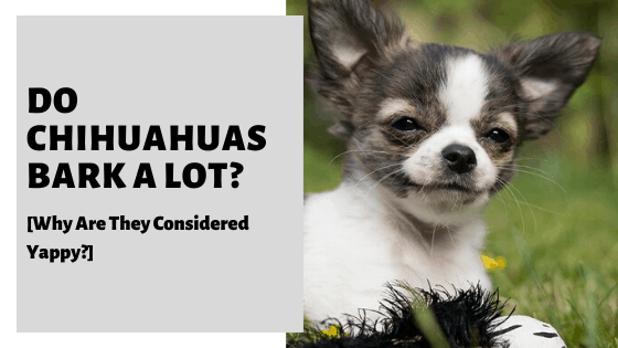 Do Chihuahuas Bark A Lot [Why Are They Considered Yappy?]
