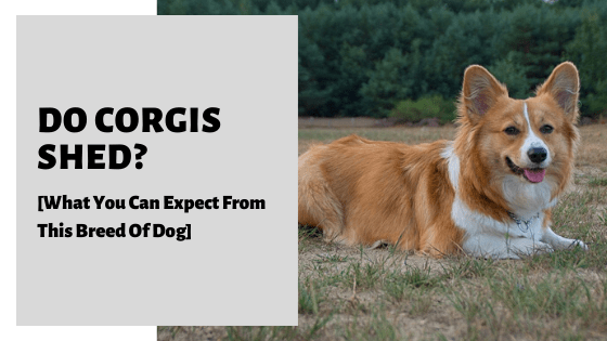 Do Corgis Shed [What You Can Expect From This Breed Of Dog]