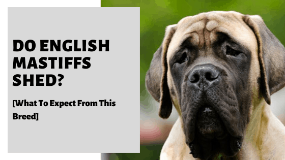 Do English Mastiffs Shed_ [What To Expect From This Breed]