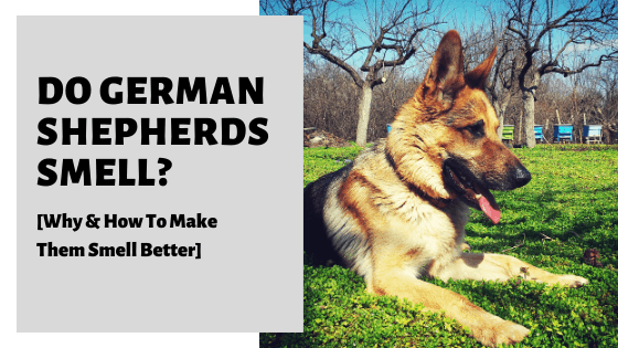 Do German Shepherds Smell? [Why & How To Make Them Smell Better]