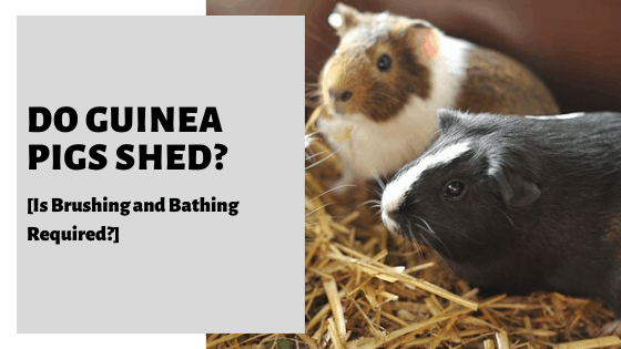Do Guinea Pigs Shed [Is Brushing and Bathing Required?]