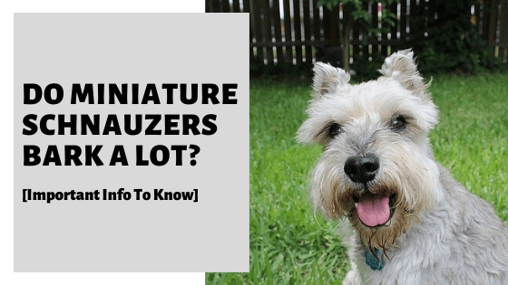 Do Miniature Schnauzers Bark A Lot [Important Info To Know]