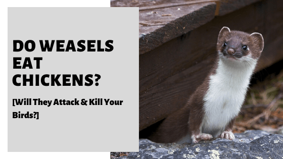 Do Weasels Eat Chickens? [Will They Attack & Kill Your Birds?]