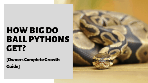 How Big Do Ball Pythons Get? [Owners Complete Growth Guide]