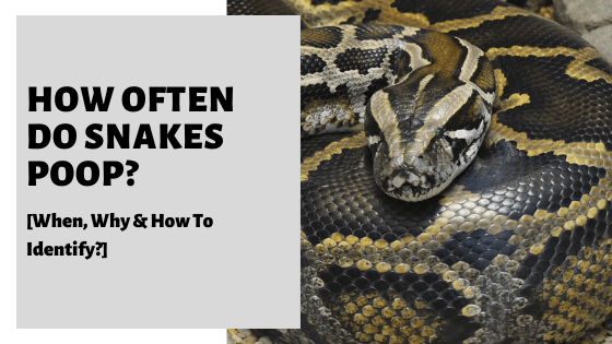 How Often Do Snakes Poop_ [When, How Much & How To Identify]