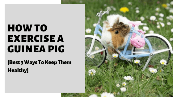 How To Exercise A Guinea Pig [Best 3 Ways To Keep Them Healthy]