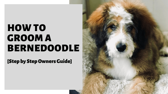 How To Groom A Bernedoodle [Step by Step Owners Guide]