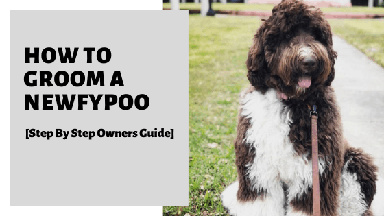 How To Groom A Newfypoo [Step By Step Owners Guide]