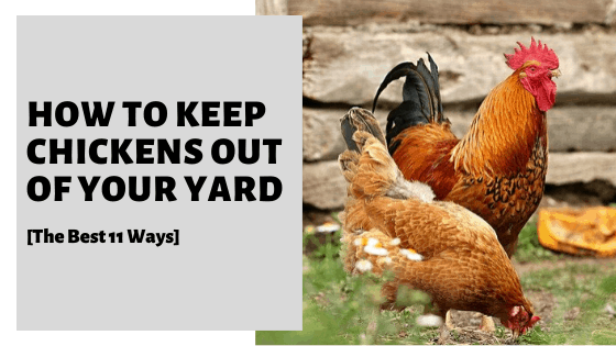 How To Keep Chickens Out Of Your Yard [The Best 11 Ways]