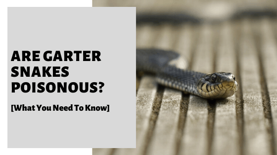 Are Garter Snakes Poisonous? [What You Need To Know]