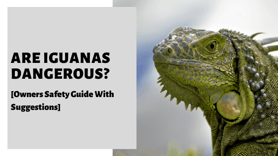 Are Iguanas Dangerous? [Owners Safety Guide With Suggestions]