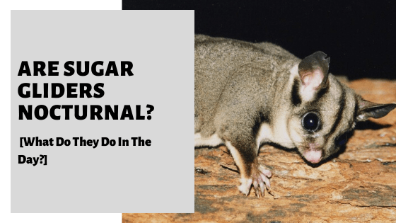 Are Sugar Gliders Nocturnal? [What Do They Do In The Day?]