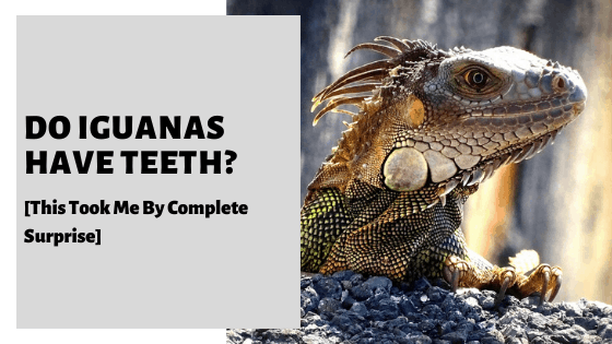 Do Iguanas Have Teeth? [This Took Me By Complete Surprise]