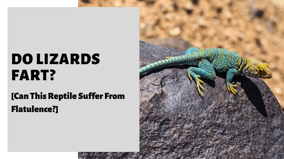 Do Lizards Fart? [Can This Reptile Suffer From Flatulence?]