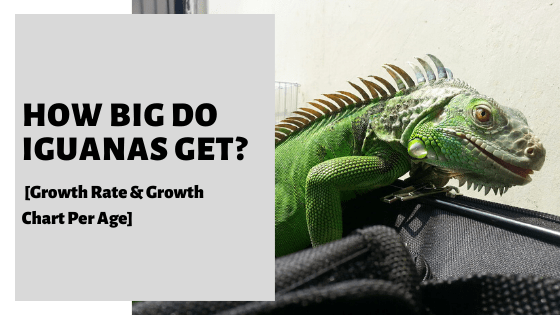 How Big Do Iguanas Get_ [Growth Rate & Growth Chart Per Age]