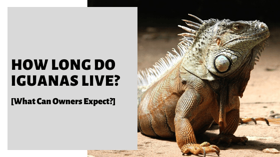 How Long Do Iguanas Live? [What Can Owners Expect?]