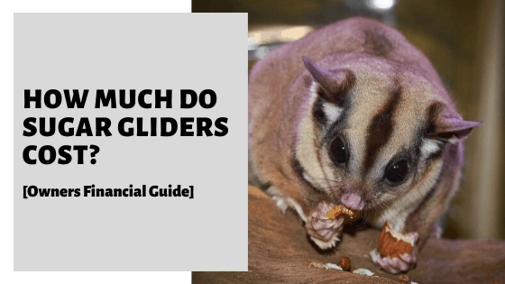 How Much Do Sugar Gliders Cost? [Owners Financial Guide]