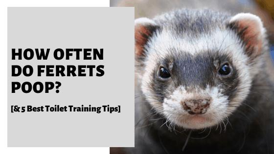 How Often Do Ferrets Poop? [& 5 Best Toilet Training Tips]
