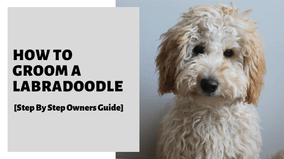 How To Groom A Labradoodle [Step By Step Owners Guide]