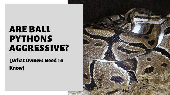 Are Ball Pythons Aggressive? [What Owners Need To Know]