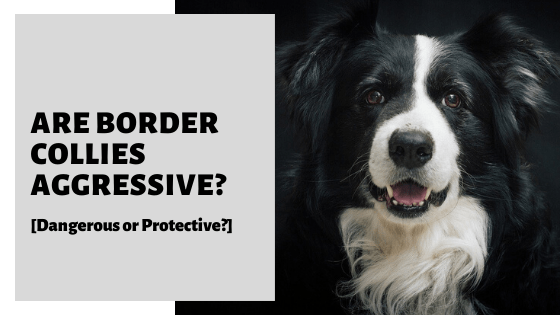 Are Border Collies Aggressive? [Dangerous or Protective?]