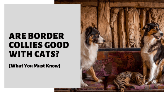 Are Border Collies Good With Cats? [What You Must Know]