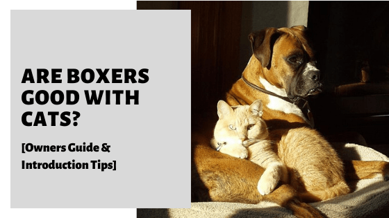 Are Boxers Good With Cats? [Owners Guide & Introduction Tips]