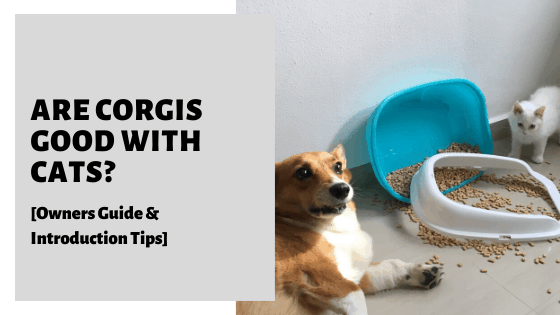 Are Corgis Good With Cats? [Owners Guide & Introduction Tips]