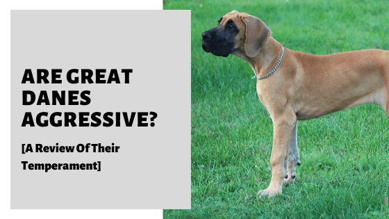 Are Great Danes Aggressive? [A Review Of Their Temperament]
