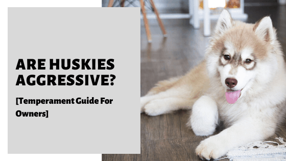 Are Huskies Aggressive? [Temperament Guide For Owners]