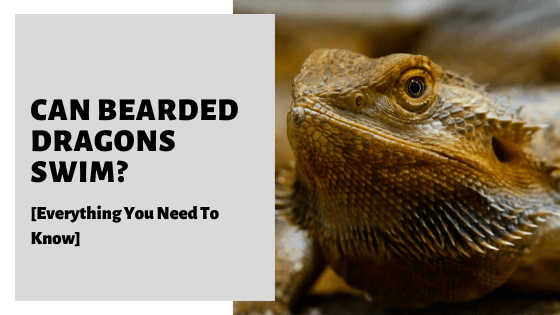 Can Bearded Dragons Swim? [Everything You Need To Know]