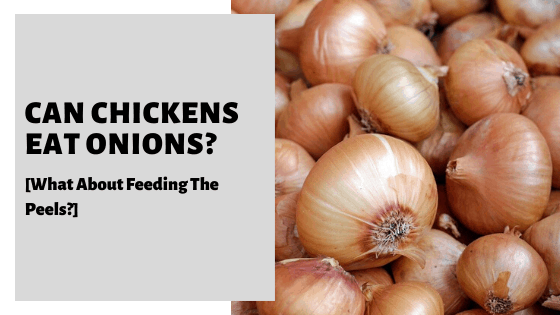 Can Chickens Eat Onions? [What About Feeding The Peels?]