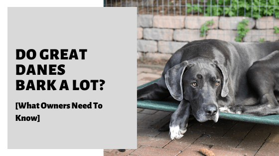 Do Great Danes Bark A Lot? [What Owners Need To Know]