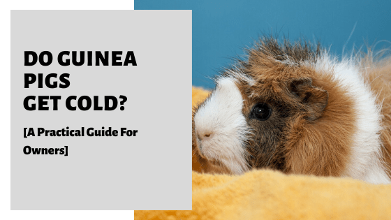 Do Guinea Pigs Get Cold? [A Practical Guide For Owners]