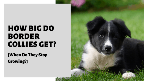 How Big Do Border Collies Get? [When Do They Stop Growing?]