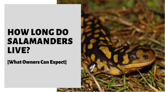 How Long Do Salamanders Live? [What Owners Can Expect]
