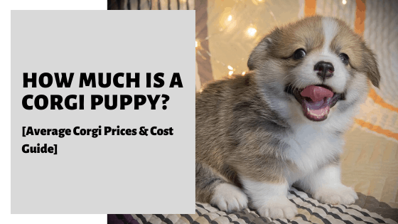 How Much Is A Corgi Puppy_ [Average Corgi Prices & Cost Guide]