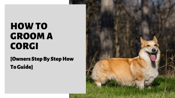 How To Groom A Corgi [Owners Step By Step How To Guide]