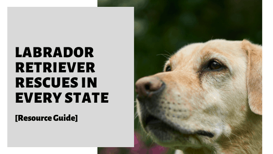 Labrador Retriever Rescues In Every State [Resource Guide]