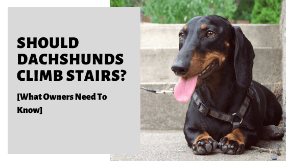 Should Dachshunds Climb Stairs? [What Owners Need To Know]