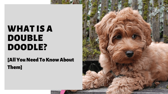 What Is A Double Doodle? [All You Need To Know About Them]
