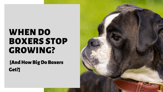 When Do Boxers Stop Growing_ [And How Big Do Boxers Get_]