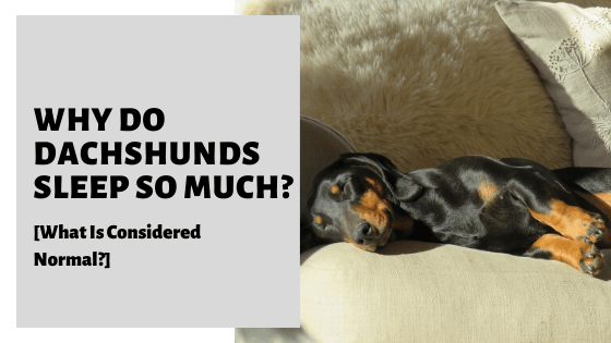 Why Do Dachshunds Like To Sleep Under Blankets?